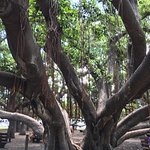 More of the banyan tree