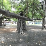 Panoramic view of the largest banyan tree in the USA