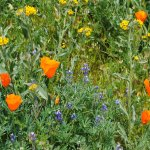 Mixed flowers.... not just poppies.