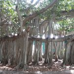 The banyon tree a memeber of the fig family