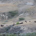 Bison at Wind Canyon overlook
