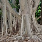 Amazing root system of a tree in the gardens