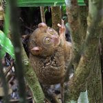 Male Tarsier