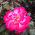 A glowing rose