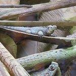 crocodile iguana