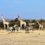 Des girafes et des zèbres rencontrés au coeur du bush