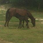3-day-old foal nursing