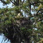 Bald eagle on Eagle Island nest