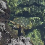 One of several turtles swimming in the water pools