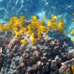 Large group of yellow tangs and parrot fish