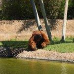 An orangutan in a bar-less enclosure