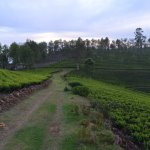 Path beyond the resort with tea gardens on both sides