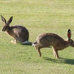 Hares on the lawn.