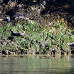 Harbor Seals sunbathing