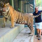 Real Siberian Tiger