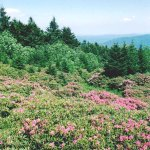 Roan Mountain and rhododendrons in June, Rhododendron Festival is early June