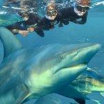 shark snorkeling