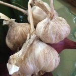 Samara Organics is one of the only places in town to get locally grown organic garlic.