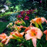 Daylilies in the garden