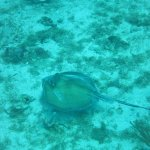 southern stingray, we also saw eagle ray