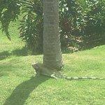 Iguanas roam around the property.