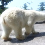 Asahiyama Zoo - the polar bear moved too fast, therefore out of focus