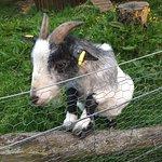evening walk - goat