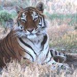 Tiger Carli