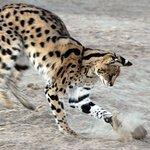 African Serval Jasper