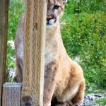 Orphaned Cougar Patty Kay