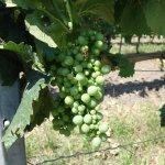 Casteller Weinspaziergänge