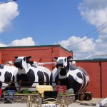 Cows of course