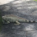 Lots of these iguanas around