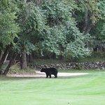 Bear hazard on the 4th hole !!