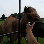 Feeding the camels