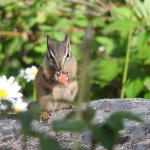 Cute chipmunk eating a wild raspberry outside of cabin