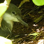 Shearwater on nest