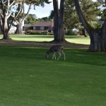 Do not be surprised if you run accross a family of deer at the Pacific Grove golf course.