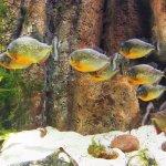 Pirañas en el acuario de Zaragoza