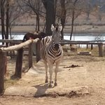 Lost is a zebra that has decided he likes living around the lodge.