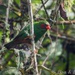 Yellow-Eared Parrot Bird Reserve