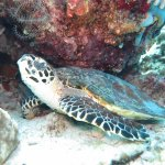 Diving - Turtle 2