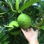 Handful of Breadfruit!