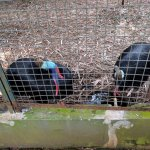 The only two Cassowaries penned together