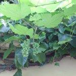 Grape vines along the garden roof