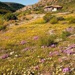 Flower season early August to September depending on rains
