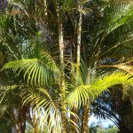 les palmiers au parc Bontanique de St Leu