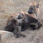 Hyena with babies