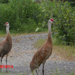 Sand Hill Cranes near the driveway
