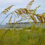 Sea oats with the pier in the distance.